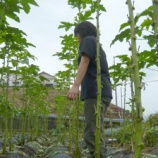 『大きく生育した島オクラの収穫』の画像