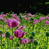畑にケシの花咲いてたんだがwwwwwww