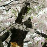『猫と桜』の画像
