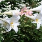 『秋植え球根第二弾ユリ・アルストロメリアの開花&まだ咲いているアネモネ』の画像
