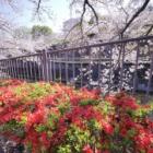 『LAOWA7.5mmF2で巡る恩田川の桜2(町田市) 2019/04/15』の画像