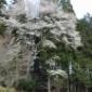 森の入り口のヤマザクラが満開!