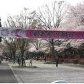 花見 華蔵寺公園(伊勢崎市)