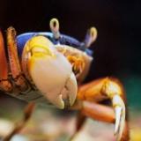 カニのオス、寄生虫にメスの身体に改造されもうめちゃくちゃwwwwww