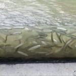 【動画】中国、長江の増水で川沿いの公園のガラス柵が「水族館」に変身してしまう!