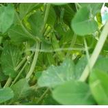 『エンドウの収穫をしている。GW中は、トマト、ナス、ピーマン、レタスなどを苗を植えていた。』の画像
