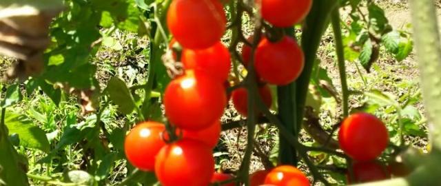 ミニトマト、つるなしいんげん、夏野菜が豊作