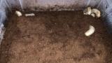カブトムシの幼虫が上に出てきてしまうんだがwww(※画像あり)