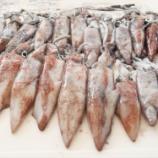 『国東の食環境(242)ヤリイカ』の画像