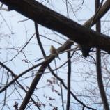 『近所の公園でかわいいメジロをバードウォッチング』の画像