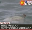 漁師もびっくり 白いアオウミガメ見つかる
