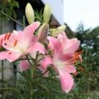『【ピノ子日記】ムササビやハクビシンがやってくる庭でガーデニング』の画像