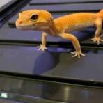Geckos Shop LUCK UP