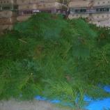 『26年度杉玉』の画像