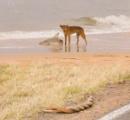 【悲報】オーストラリアさん、ビーチでイヌがサメを襲い、その横でヘビが交尾する無法地帯だった