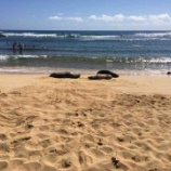 『ポイプビーチのハワイアンモンクシール』の画像
