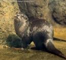 円山動物園のコツメカワウソ「ずんだ」が溺死 循環用取水口に足が吸い込まれ呼吸できず…