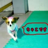 『ホテル初挑戦のパピヨンちゃん お気に入りは広い室内ドッグラン!』の画像
