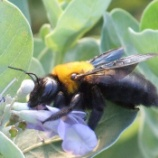 『クマバチってなんで飛べるのか不思議だよね』の画像