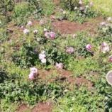 『靭公園のバラを見てきました。』の画像