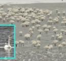 【悲報】白鳥休めず… 湖凍結で立ちっぱなし余儀なくされる 新潟