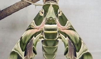 【驚愕】昆虫界で飛行速度最速はこいつらしい