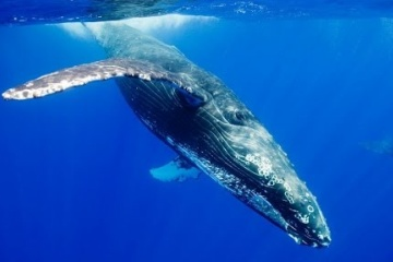 最大最強シロナガスクジラはガメラより重い