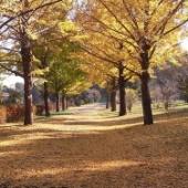 昭和記念公園 紅葉まつり 黄色に染まるイチョウ並木を走り抜ける!