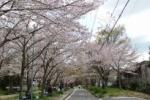 衝撃の事実!交野八景。妙見さんの桜は戦後育ち!~インサイト交野No.63~
