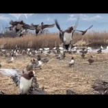 『野生の鴨ちゃんたち』の画像