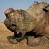 『南アフリカでサイの角の取引が合法化』の画像
