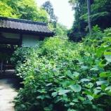 『2018 北鎌倉の明月院のあじさい開花情報 �』の画像