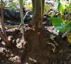 サトイモの生育状況