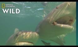 【動画】サメよけに磁石が威力を発揮、保護に朗報「あまりにうまく行ったので驚きました」と研究者