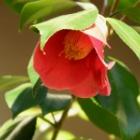 『五弁の椿』の画像