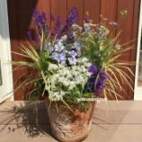 『紫陽花とラークスパーのコンテナガーデンを初夏だからこそ出来る観葉植物との寄せ植えを作ってみました!』の画像