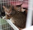 42匹多頭飼いで保護された名古屋の猫ちゃんたち 外傷も異臭もなくきれいで飼い主は名前も覚えていた