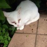 蓮舫の猫、失明寸前wwwwwwwwwwwwwwwwww