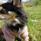 『コロナの影響もあり、愛犬のお散歩も手身近に。』の画像