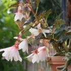 『【ピノ子日記】イラガの退治とイソヒヨドリ&ベゴニアと庭の花&オンシジュウム』の画像