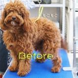 『サマーカットの季節!キャバリア×トイプーのMIX犬ビフォーアフター』の画像