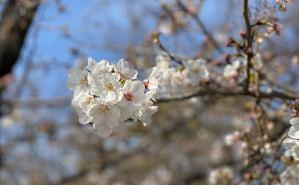 皆さんは桜の