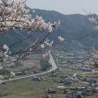 『播但の桜。』の画像