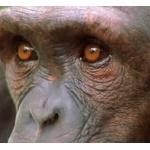 チンパンジーと最強クラスの格闘家が戦ったらどっちが勝つの?