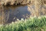 交野市内を流れる一級河川「天の川」を散歩してたら凛とした花咲いてた!〜この時期、水仙が見頃に〜