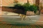 今度はキツネが人家の多い天野が原町に出現!私市キツネのお散歩か!?【情報提供:天野が原の田中さん】