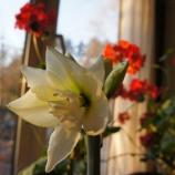 『アマリリス咲く』の画像