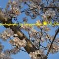 桜見2013・一片