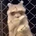 その動物園には何がいる? ボクと一緒に踊らない? → そこにはこんなアライグマがおりました…