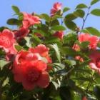 『春は椿・11 紅唐子』の画像